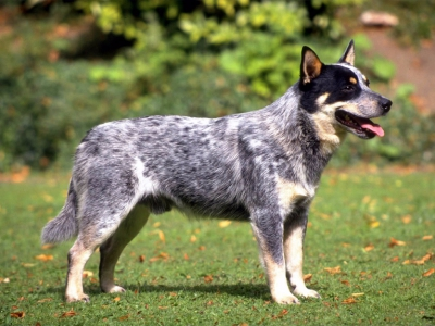 Herding Group 1 Australian Cattledog